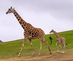 two week old giraffe calf makes debut at san diego zoo safari park