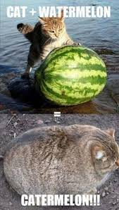 Watermelon Meme - fusion of cat and watermelon funny memes fun things to do when