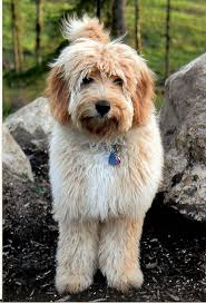 56 best labradoodle haircut images on pinterest animals puppy