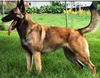 belgian shepherd how much dogs u003e u003e malinois free training course on malinoiss