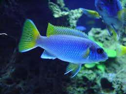60 best peacock and mbuna cichlid collection images on pinterest
