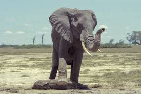 elephants communicate in sophisticated sign language researchers