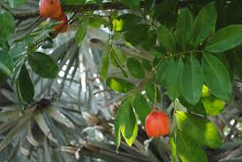 Ackee Fruit Tree - farsighted fly ackee and me
