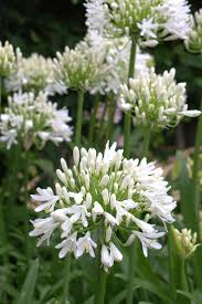 best 25 agapanthus plant ideas on pinterest courtyard gardens