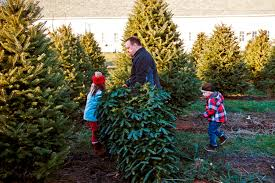 christmas tree pic fresh christmas trees cut your own tree cooks woods