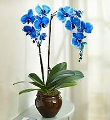 blue orchids for sale beautiful blue phalaenopsis orchid 1800flowers 101828