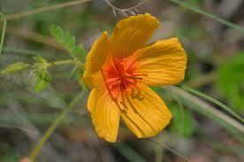arizona flowers kallstroemia grandiflora arizona poppy southwest desert flora