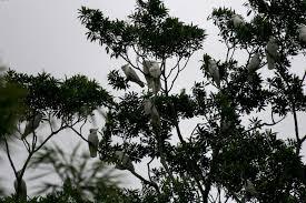 Canopy Birds by Avise U0027s Birds Of The World