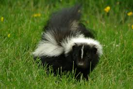 humane skunk removal abc humane wildlife