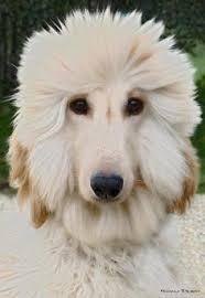 afghan hound breeders victoria afghan hound tender romance loved and pinned by noah u0027s ark