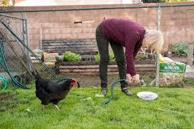 Chicken In Backyard Santa Ana U0027chicken Lady U0027 Comes To The Rescue U2013 Orange County Register