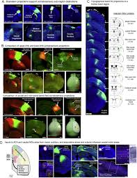 neural networks of the mouse neocortex cell