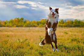 australian shepherd e cavalli anitone integratore animale liquido