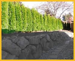 Trees Backyard Selecting The Right Privacy Tree