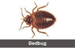 Kill Bed Bugs Bed Bugs Pest Control Bed Bugs Treatment U0026 Kill Bed Bugs In Bangalore
