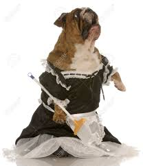 robe de chambre anglais la haine ménage bulldog anglais portait la robe de chambre debout