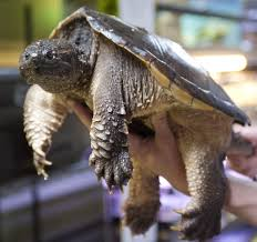 Backyard Reptiles Tigard House Of Reptiles Rescues Snapping Turtles Alligators And