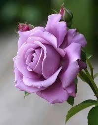 lavender roses lavender is a garden lavender flowers