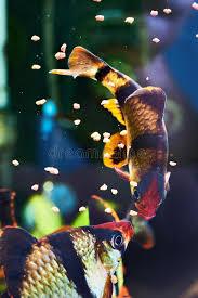 pesci alimentazione pesci d alimentazione dell acquario puntius tetrazona di barbus