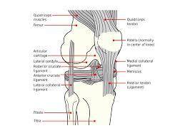 Collateral Ligaments Ankle Joints Of The Body Terminology Articulations U2013 Points Of Contact