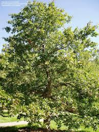 Wildfire Black Gum Tree by Plantfiles Pictures Sour Gum Blackgum Tupelo Pepperidge Nyssa