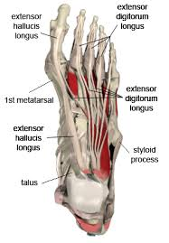 Foot Tendons Anatomy Wk Top Foot Anatomy With Inspiration Of Top Foot Anatomy At Best