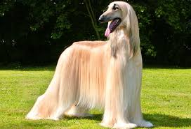afghan hound therapy dog afghan hound dog breed info characteristics traits personality