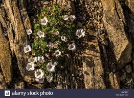 Rock Garden Cground Up Of Saxifrage Plant Perennial Ground Cover For Rock Garden