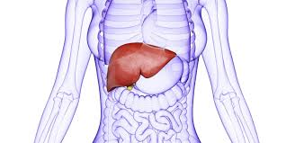 Human Anatomy Liver And Kidneys Liver Stones