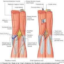 Knees Anatomy Muscles In The Back Of Your Knee Human Anatomy Chart