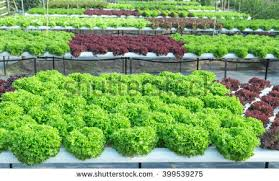 hydroponic vegetable farm stock photo 91776053 shutterstock
