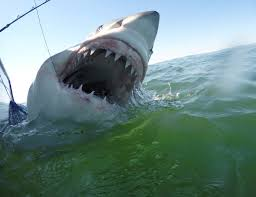 county commissioner proposes killing white sharks to ensure beach