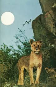 185 best cougars pumas mountain lions images on pinterest