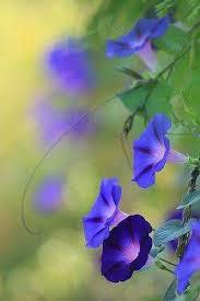 Morning Glory Climbing Plant - 25 beautiful morning glories ideas on pinterest morning glory