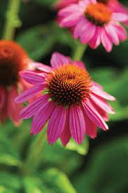 echinacea flower powwow berry cone flower echinacea purpurea proven winners