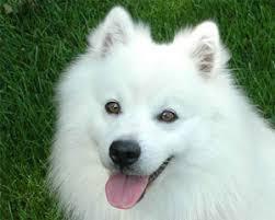 american eskimo dog vs pomeranian what u0027s an eskie