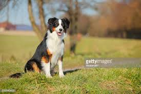 pictures of australian shepherds australian shepherd stock photos and pictures getty images