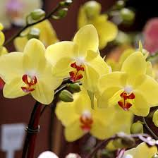 yellow orchids phalaenopsis orchids indoor flowers plant care rocket farms