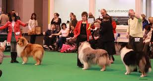 crufts australian shepherd 2014 crufts 2014 rough and smooth collie results
