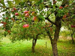 apples pears trees jf tree specialistjf tree specialist