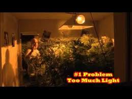 how much light do pot plants need cannabis growers 1 problem is too much light the grow boss