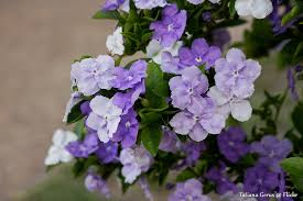 flowers today yesterday today tomorrow flowers brunfelsia brunfelsia flickr