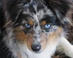 australian shepherd with blue eyes 5630 best aussies images on pinterest aussies animals and