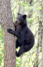 Louisiana wild animals images Louisiana black bear ursus americanus luteolus is found in jpg