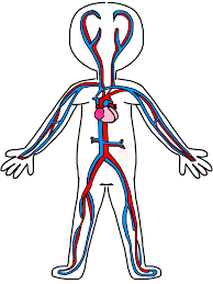 human circulatory system coloring page murderthestout
