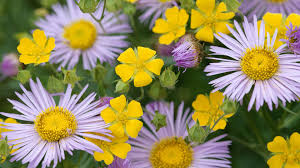 mums flower flower flower colors flowers mums white nature beauty yellow