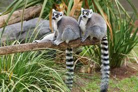 Desktop Hd Free Pictures Animals Beautiful Lemurs Animal Desktop Hd Wallpaper For Background Free