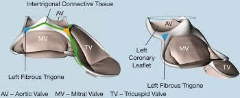 Anatomy Of Heart Valve Mitral Valve Anatomy Cthsurgery Com