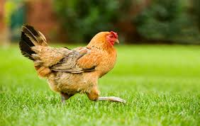How To Raise Backyard Chickens For Eggs How To Raise Backyard Chickens Sierra Club