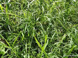 native grass plants t e r r a i n taranaki educational resource research analysis